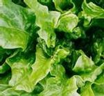 Throw out your Romaine Lettuce! - thumb_DBD5DE7B-52BB-4C53-9592-A2539D012781.jpeg